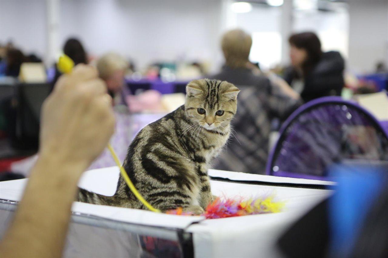 Выставка кошек в москве 2017