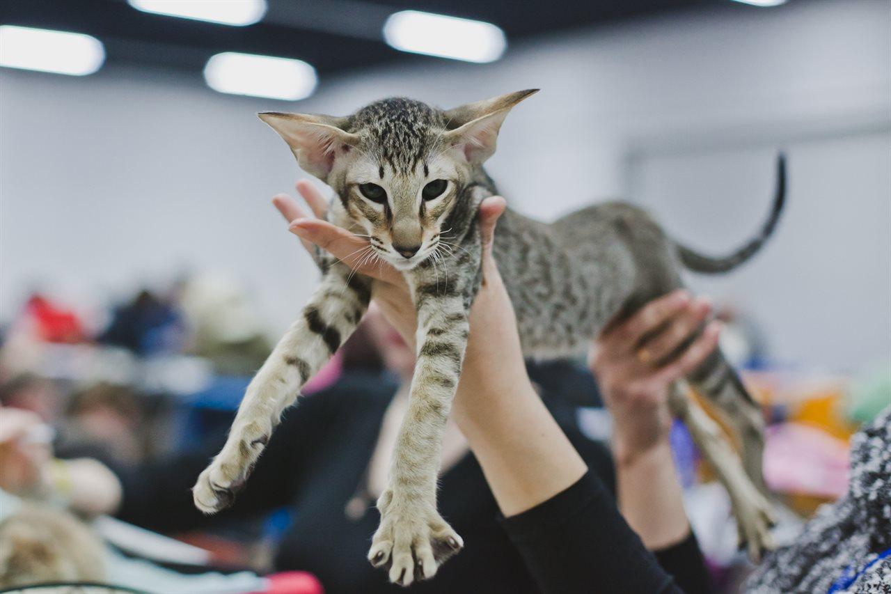 Выставка кошек с картинками