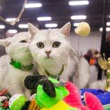 Выставка кошек «Осенний Альянс—2016»
