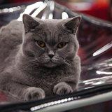 Khrustalny Kubok Moskvy National Cat Show