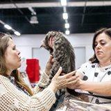 Zolotaya Koshka Na Orbite – cat show and kitten sale