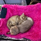 Cat-Salon-September Cat Show