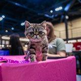 Выставка кошек, продажа котят всех пород «КоШарики Шоу»