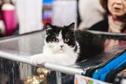 Cat shows in Sokolniki Exhibition and Convention Centre
