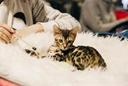 International Cat Show in Sokolniki