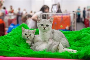 Summer Cup Cat Info in Sokolniki
