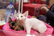 Cat Show Takes Place in Sokolniki