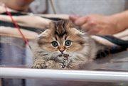 索科利尼基举办猫咪博览会