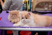 Sokolniki will host a cat show