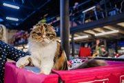 Международная выставка кошек «Кэт-Салон-Сентябрь»